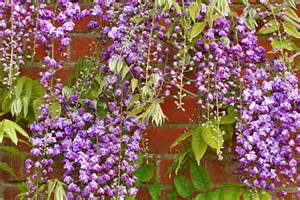 climbing plants sun climbers and wall shrubs for sun rhs gardening