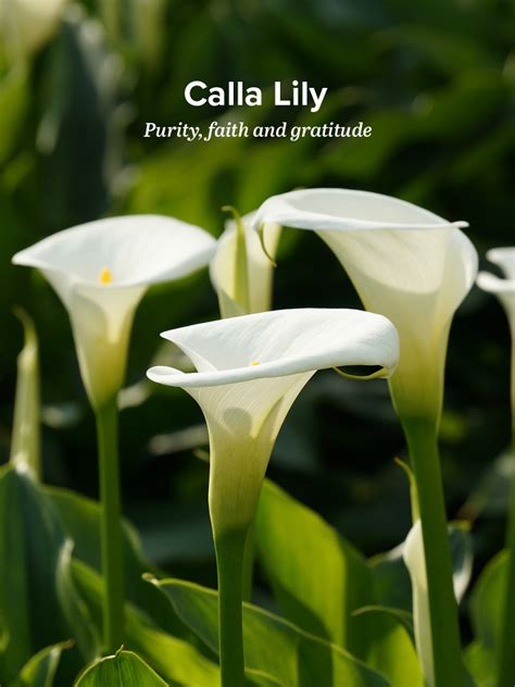 history and meaning of calla lilies proflowers blog