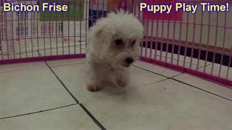 bichon frise puppies for sale craigslist bichon frise puppies dogs for sale in tennessee tn 19breeders
