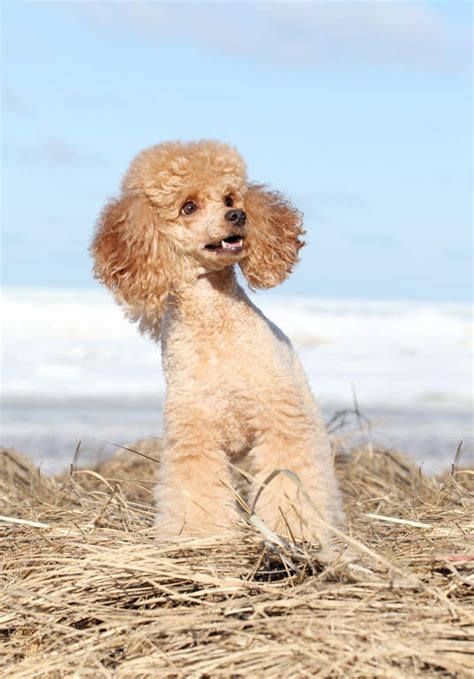miniature poodles the poodle information center miniature poodle dogs breed information omlet