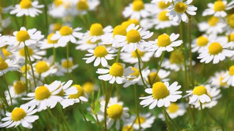 chamomile safe for cats 4 pet safe plants that repel ticks and fleas activ4pets