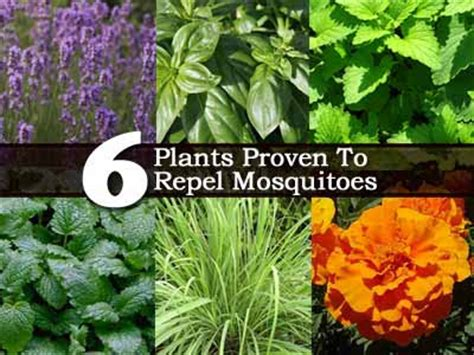 healthy foods herbal medicines anti mosquito herbs