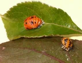 bed bugs black spots orange bug with black spots harmonia axyridis bugguide net
