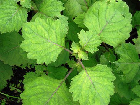 patchouli plant pogostemon cablin benth review plant world