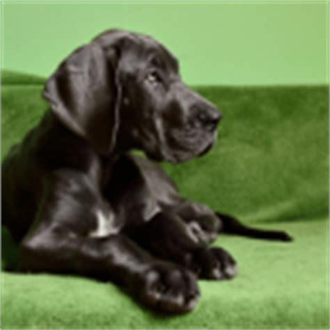 why do dogs drag their why do dogs drag their bottom along the floor doggiedemeanor