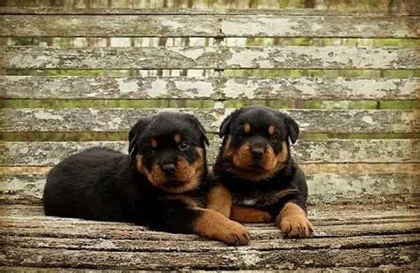 rottweilers for sale in louisiana 25 best ideas about rottweiler puppies for sale on german rottweiler