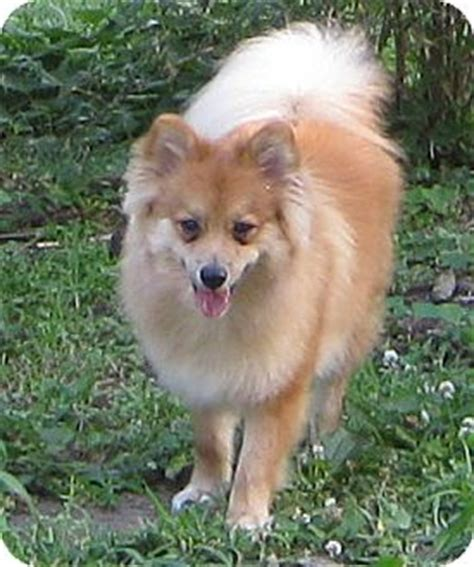 spitz and pomeranian mix mister max adopted puppy kansas city mo pomeranian spitz mix