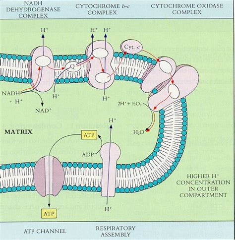 diagram and explain electron transport electron transport chain diagram genetic disorders
