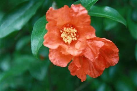 fiore di melograno condividi la foto fiore di melograno dall album foto