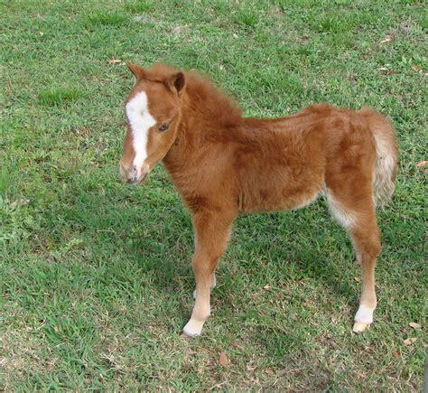 mini pony baby miniature www imgkid the image kid has it