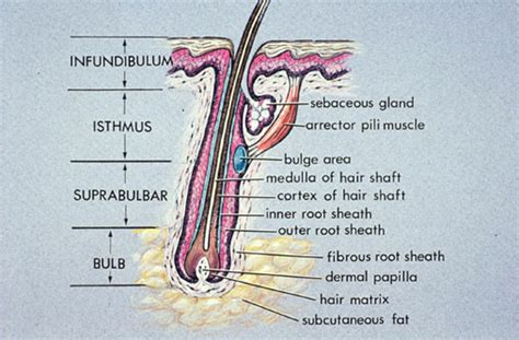 hair diagram 5 best images of hair structure diagram human hair