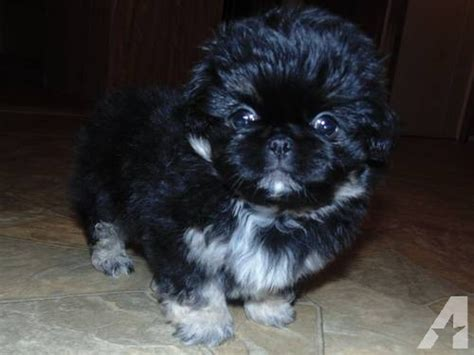 pekingese puppies for free pekingese puppies for sale in ohio breeds picture