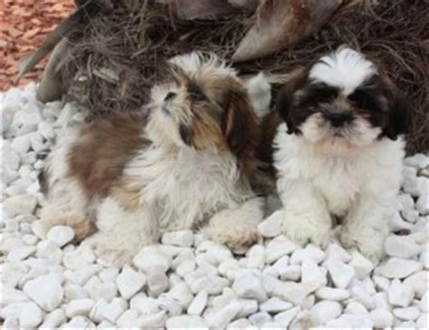 shih tzu puppies for sale in louisville ky dogs louisville ky free classified ads