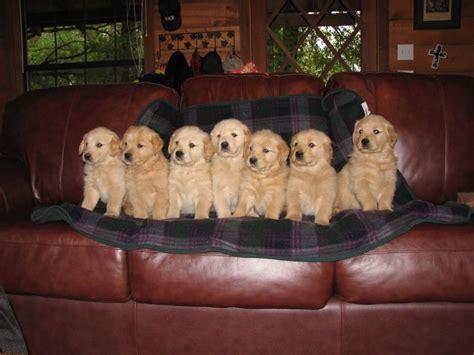 golden retriever puppies dfw golden retriever breeder puppies available fall 2015 serving dallas ft worth