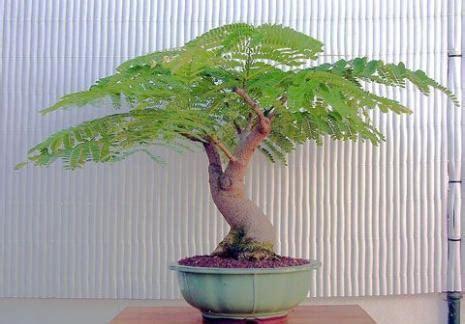 Benihbijibibit Bunga Bonsai Flamboyan Orange harga pohon flamboyan di banjarmasin www stewartflowers net