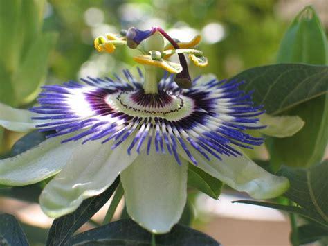 passiflora fiore della passione passiflora passiflora caerulea passiflora caerulea