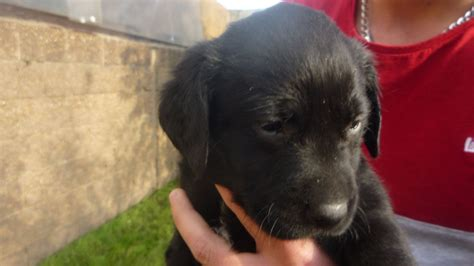 black golden retriever for sale retrievers for sale in uk breeds picture