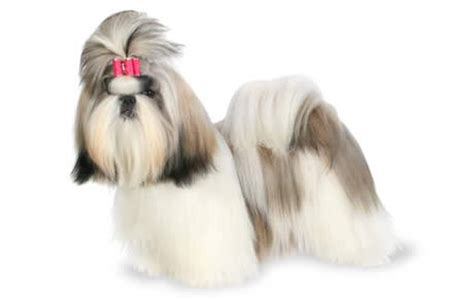 shih tzu behaviors top 32 small dogs who make apartment dogs dogtime