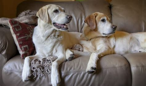 Labradors Shedding by How Often Do Labradors Shed And How To Minimize It