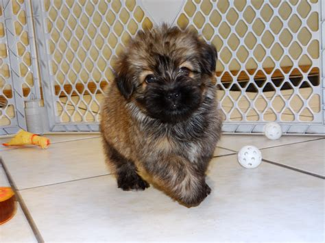 puppyfind havanese havanese puppies dogs for sale in montgomery alabama al 19breeders hoover
