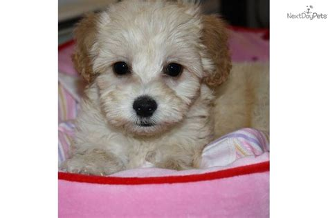 maltipoo puppies virginia malti poo maltipoo puppy for sale near hton roads virginia a5d730a5 0a11