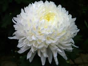 mums flower enjoy the fragrance of flowers do you have trouble in