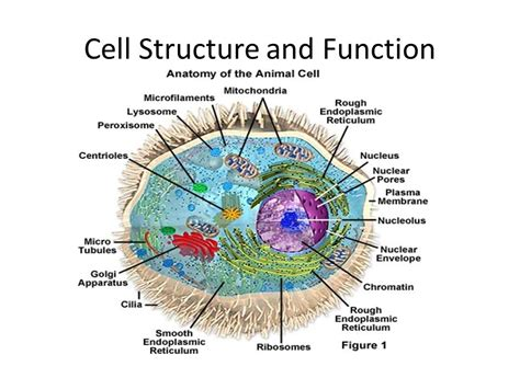 diagram and functions diagram of a cell and its functions 28 images cell