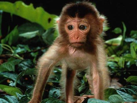 imagenes chistosos monos fotos de monos taringa