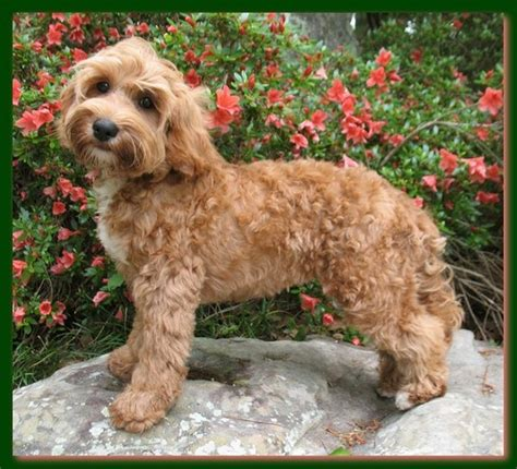 labradoodle puppy cut australian labradoodle summer cut hairstyle gallery