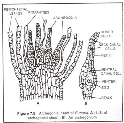 schematic structure biography funaria diagram www pixshark com images galleries with