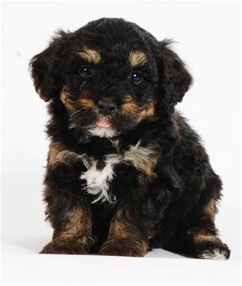 tiny bernedoodle puppies for sale miniature bernedoodle puppies for sale breeds picture