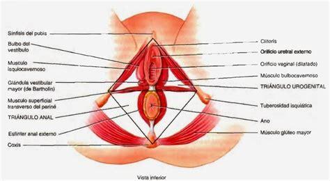 vestibulo feminino sistema reproductor femenino