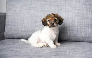 Small House Dogs Most Gentle Small Dogs Photo Dog Breeds Picture