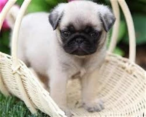 pug puppies for sale in indianapolis pets indianapolis in free classified ads