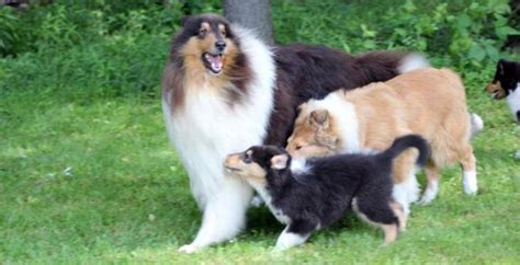 collie puppies for sale in pa collie breeder pa val hi collies collie puppies for sale in pa