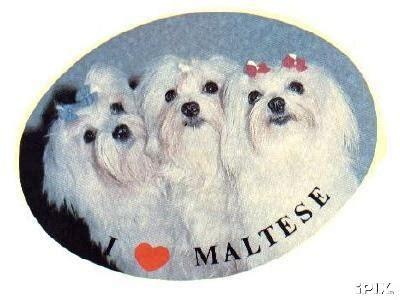 teacup pomeranian for sale montreal maltese cross shitzu maltese mix puppies for sale uk gt gt lhasa maltese
