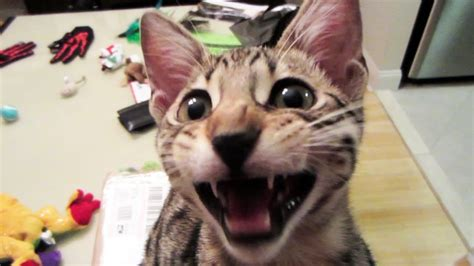 8 Ways To A Laugh At Your Cats Expense by Laughing Kitten