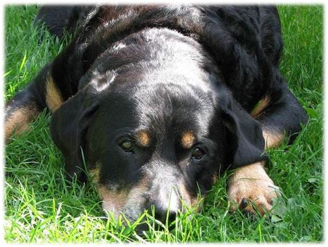 can dogs attacks rottweiler attack dogs attacks happen for many reasons most of which can be