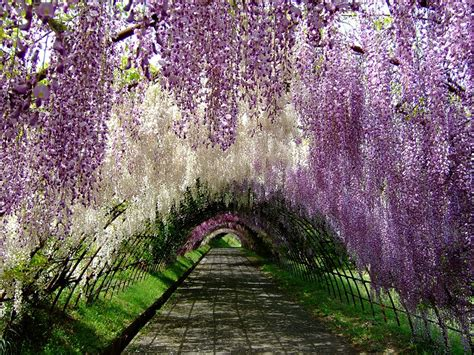wisteria flower tunnel move over cherry blossoms wisteria may be the most
