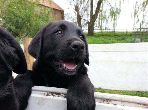 labernese puppies labernese puppies bernese mountain x labrador wisbech cambridgeshire pets4homes