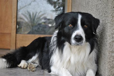 Do Border Collie Shed by Border Collie Golden Retriever Breeds Picture