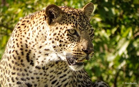 jaguar animal endangered jaguar animal endangered facts endangered species day