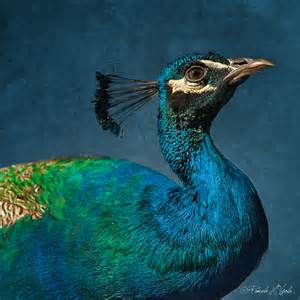 peacock blue a small work peacock blue