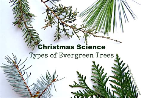 types of evergreen trees the educators spin on it