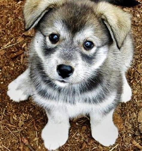 pomeranian husky hybrid 17 best images about designer hybrid dogs on chihuahuas spaniels and