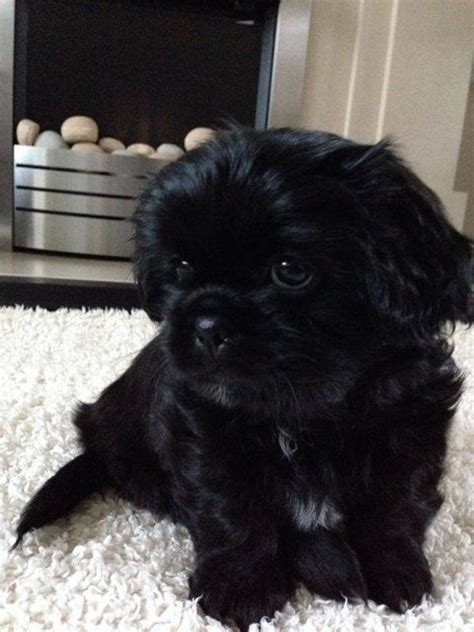shih tzu spine problems boomer 8 week shih tzu for adoption
