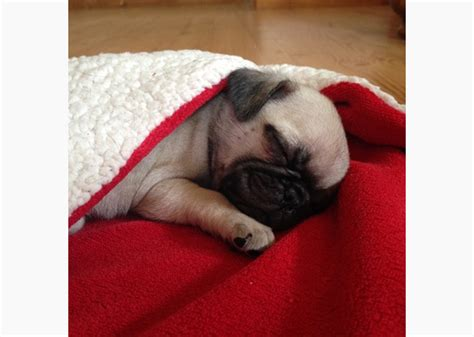pugs in a blanket 11 adorable pugs in blankets photo gallery