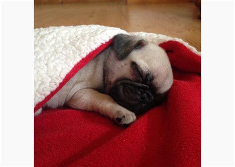 pug in blanket 11 adorable pugs in blankets photo gallery