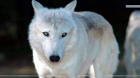 white facing white wolf facing wallpaper