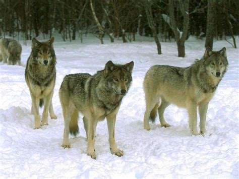 wolf s tribe of hunting wolfs images wolves hd wallpaper and